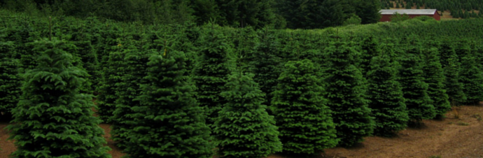 Christmas Tree Farms In And Around Denver Kids Out About